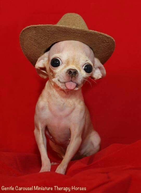 прически смешные фото с собакой чихуахуа себе ким