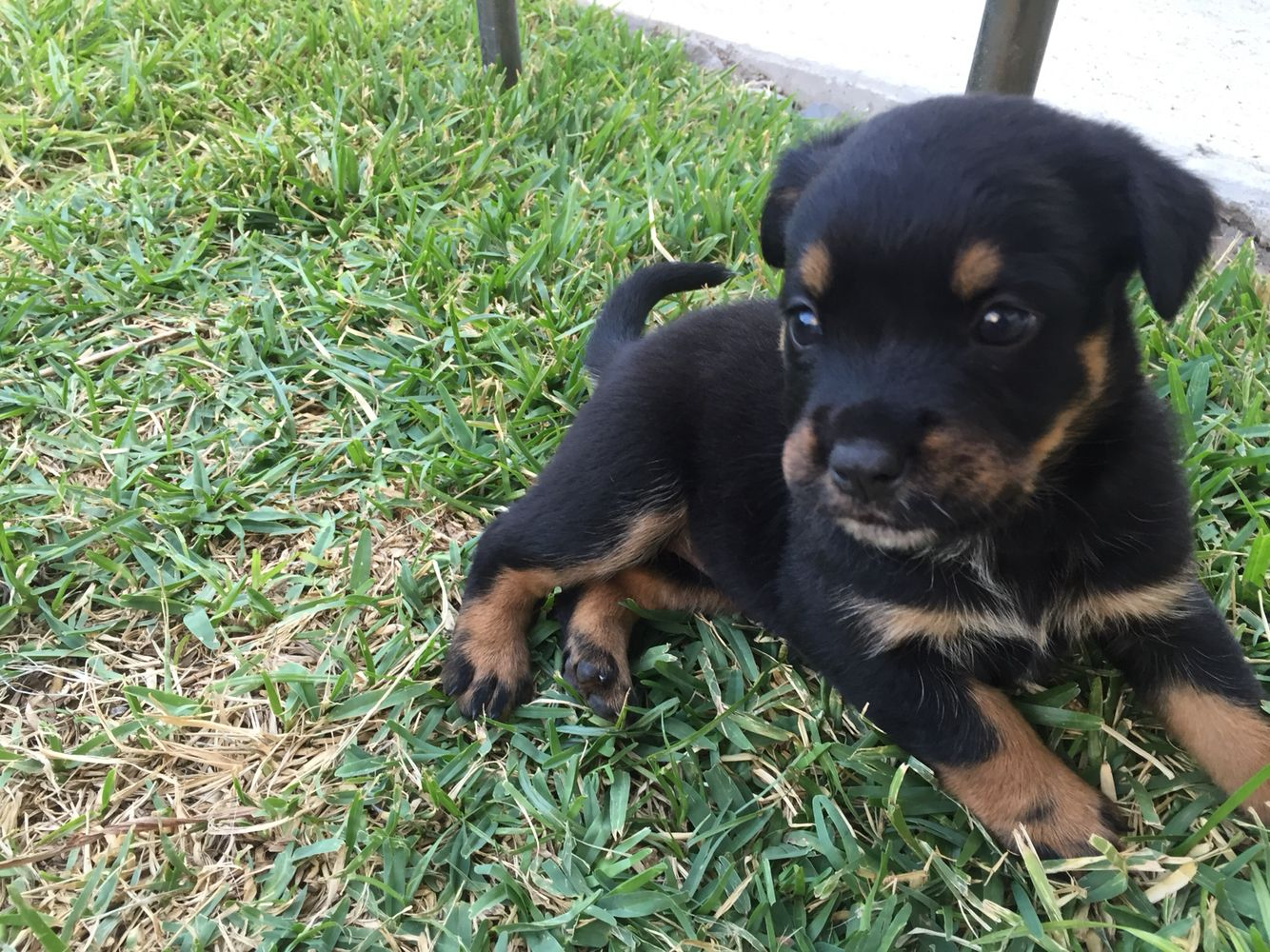 Puppy Blueheeler Rottweiler Mix 1 Month Rottweiler Puppies Rottweiler Mix Puppies