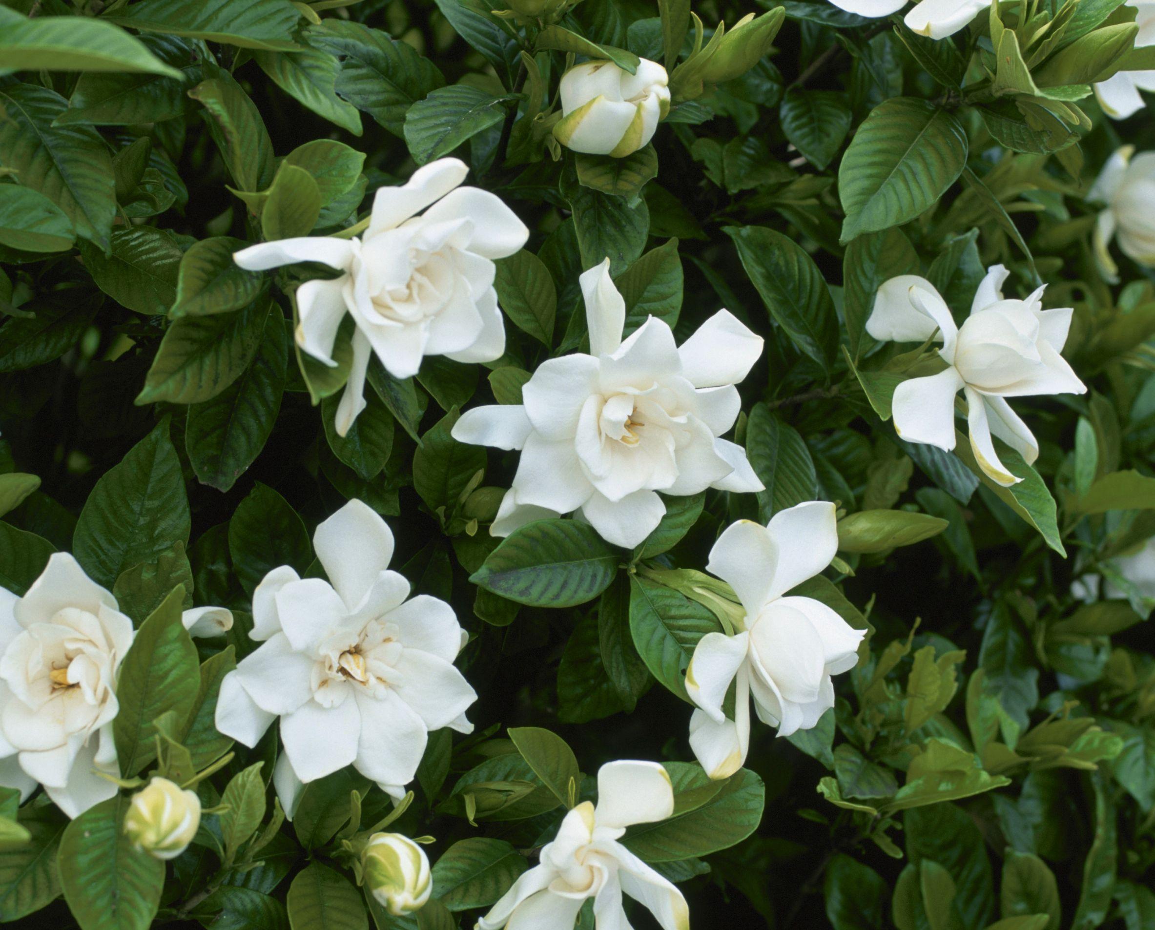 Las plantas de gardenias son fáciles de cultivar y producen unas de ...