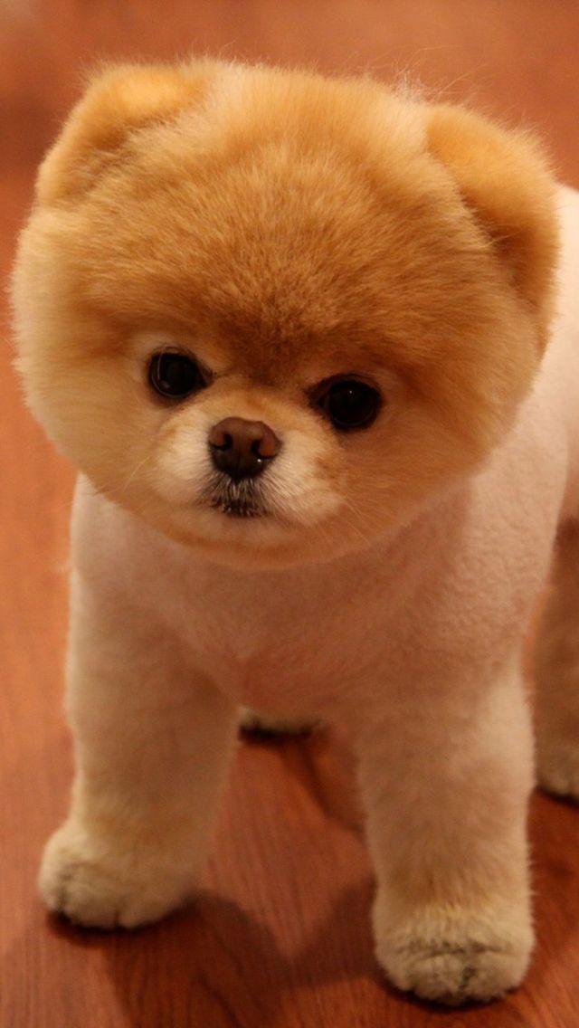 Cute Pomeranian Dog iPhone Wallpapers Cute animals, Boo