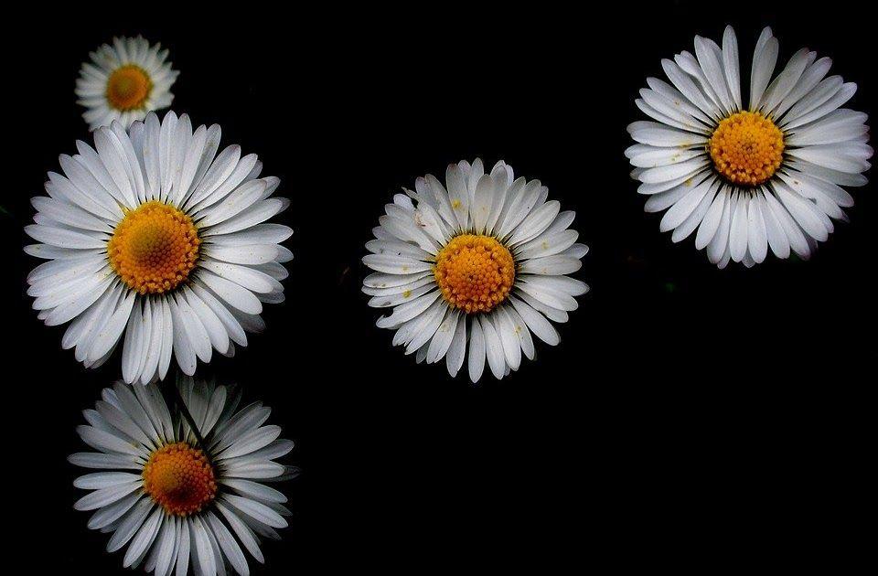 26 Wallpaper Bunga Aster Putih Bunga Ini Memiliki Keindahan Yang Menjadi Daya Tarik Tersendiri Bagi Beberapa Orang Unduh Gambar Di 2020 Bunga Wallpaper Bunga Aster