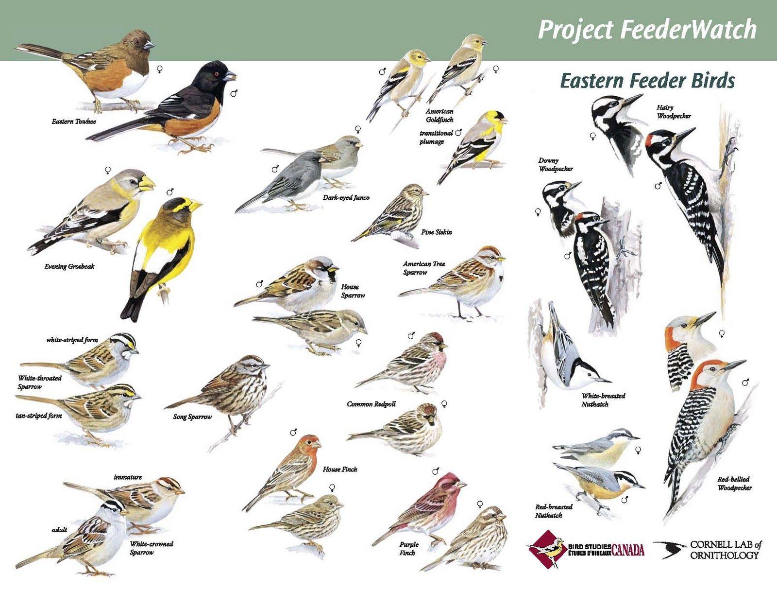 Indiana Backyard Feeder Birds