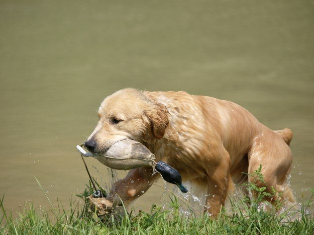 How To Train A Hunting Dog To Retrieve Hunting Dogs Dog