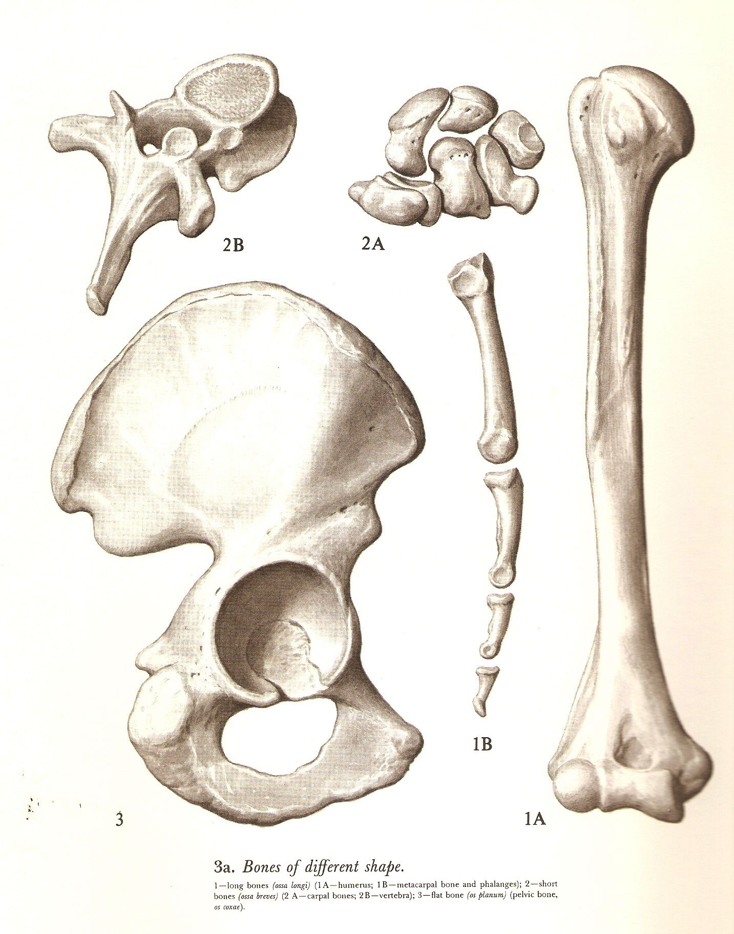 Bones of different shape \