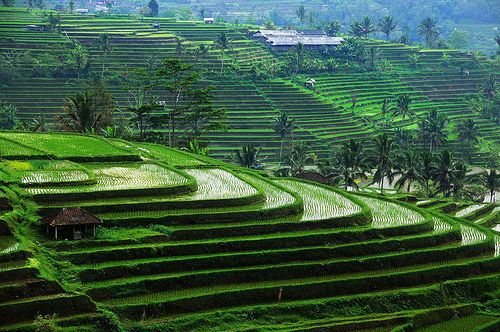 Bali rice terraces (by LPlate2009