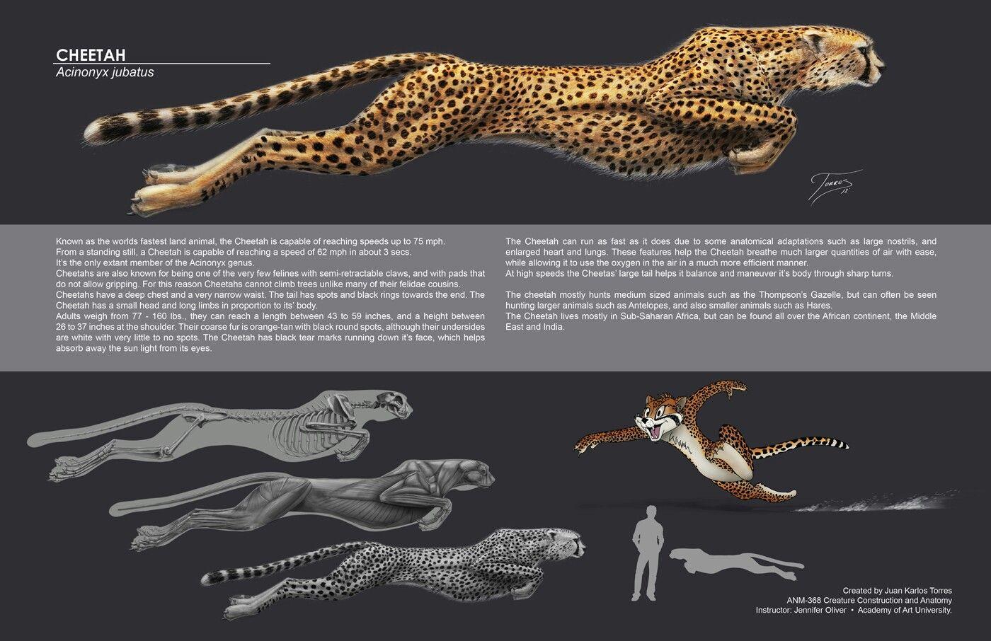 Found in Googls #cheetah #anatomy #muscles | Art/Concepts ...