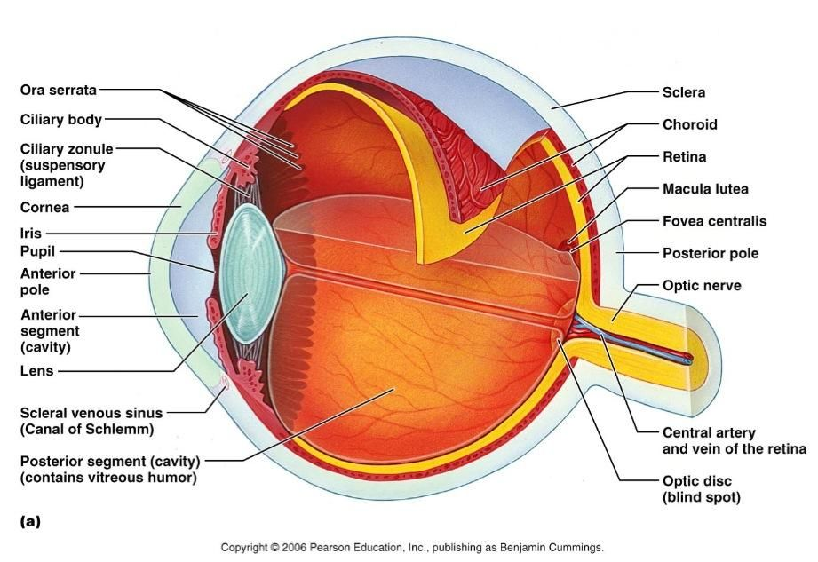 fovea centralis - Google Search | Anatomy and Physiology 1 - PTA ...