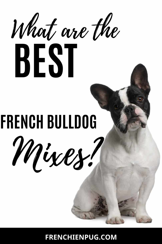 What are the best French bulldog mixes? French bulldog