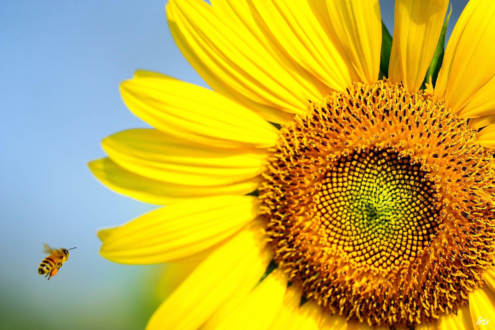 Sunflower Bee wallpapers HD free 325648 Sunflower