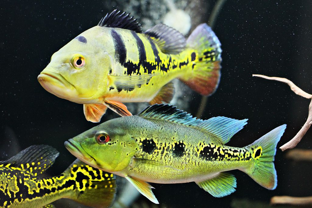 Peacock bass fish pinterest peacock bass fish and for Bass fish tank