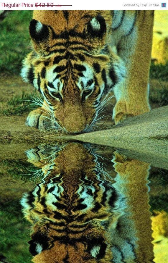 Tiger Reflection  Fine Art Photograph by JoshFriedmanPhoto.