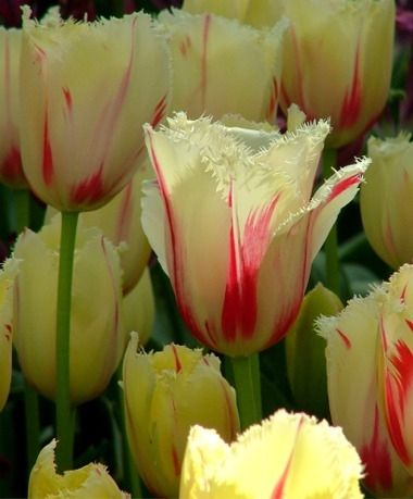 Tulip Carousel Fringed Tulips Tulips Flower Bulb Index Bulb Flowers Tulips Flowers Flowers