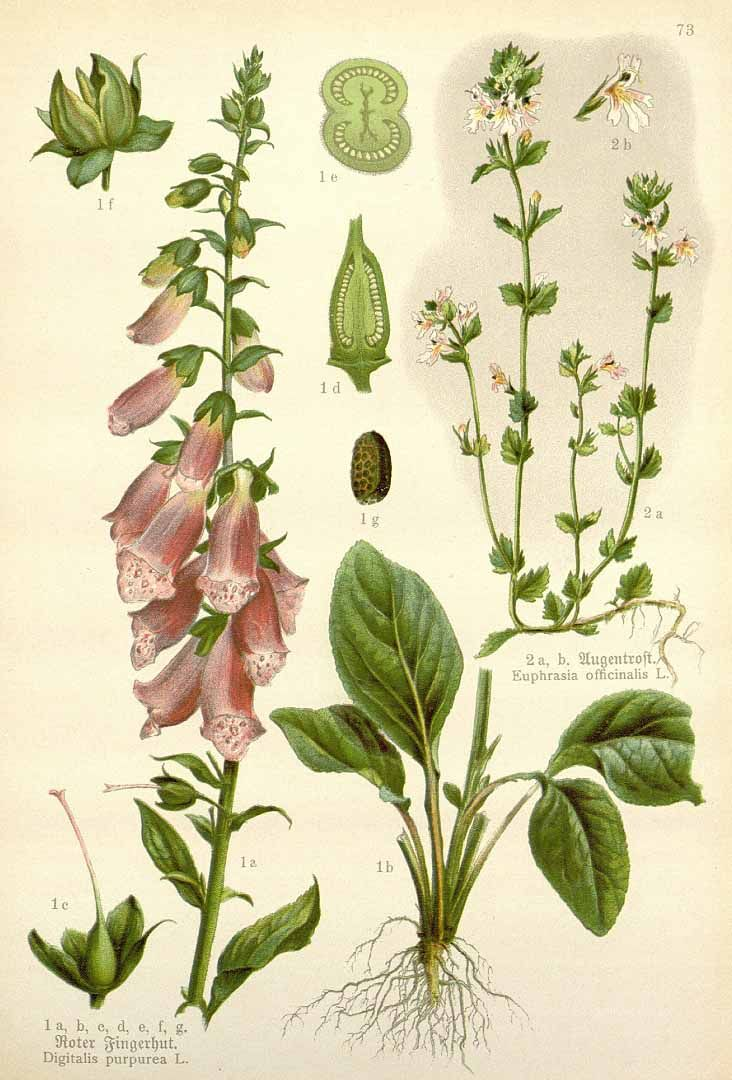 foxglove botanical illustration watercolor plant