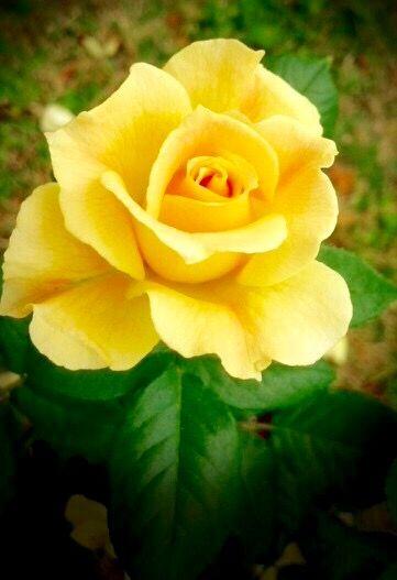 Natural Elements Yellow Rose Yellow Roses Beautiful Roses Beautiful Flowers