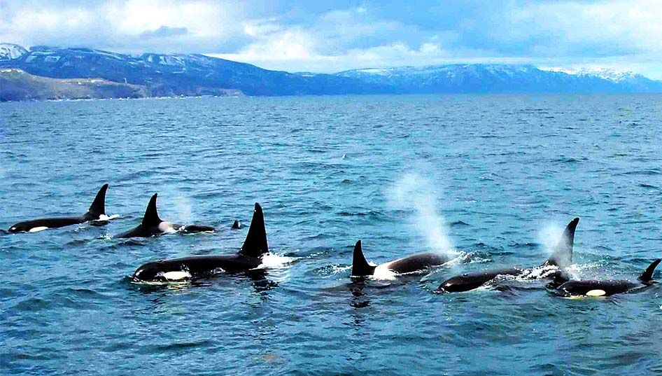 Huge gathering of more than 30 killer whales seen in Shiretoko World Heritage site