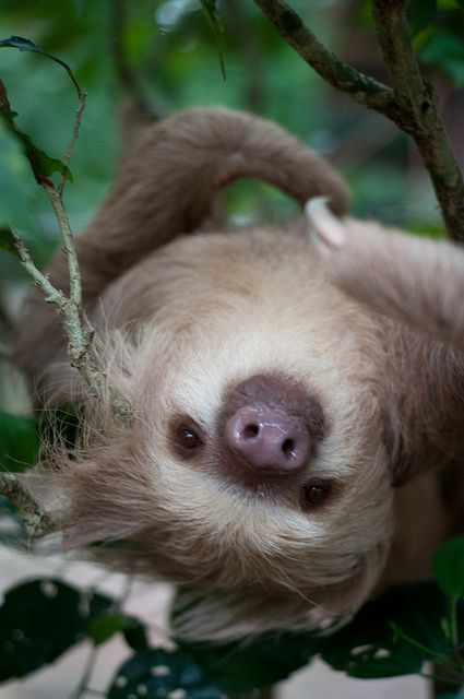 A close up picture of a sloth in Puerto Viejo, Costa Rica. These guys can be found in the Jaguar Rescue Center. I almost cancelled the rest of the trip to volunteer here. Great organization.