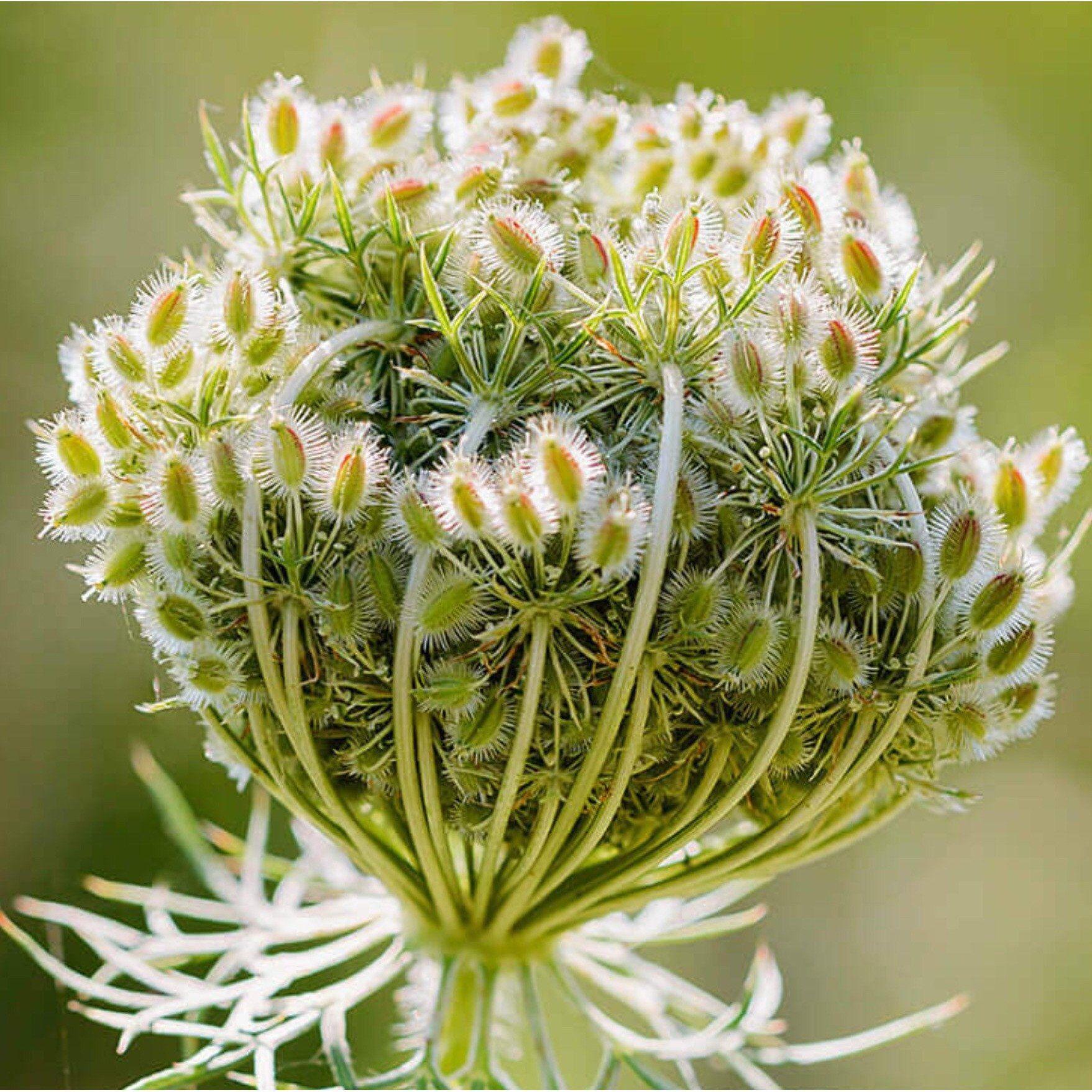 carrot seed oil, france (30ml)