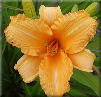 Day Lily  Bertie Ferris $7