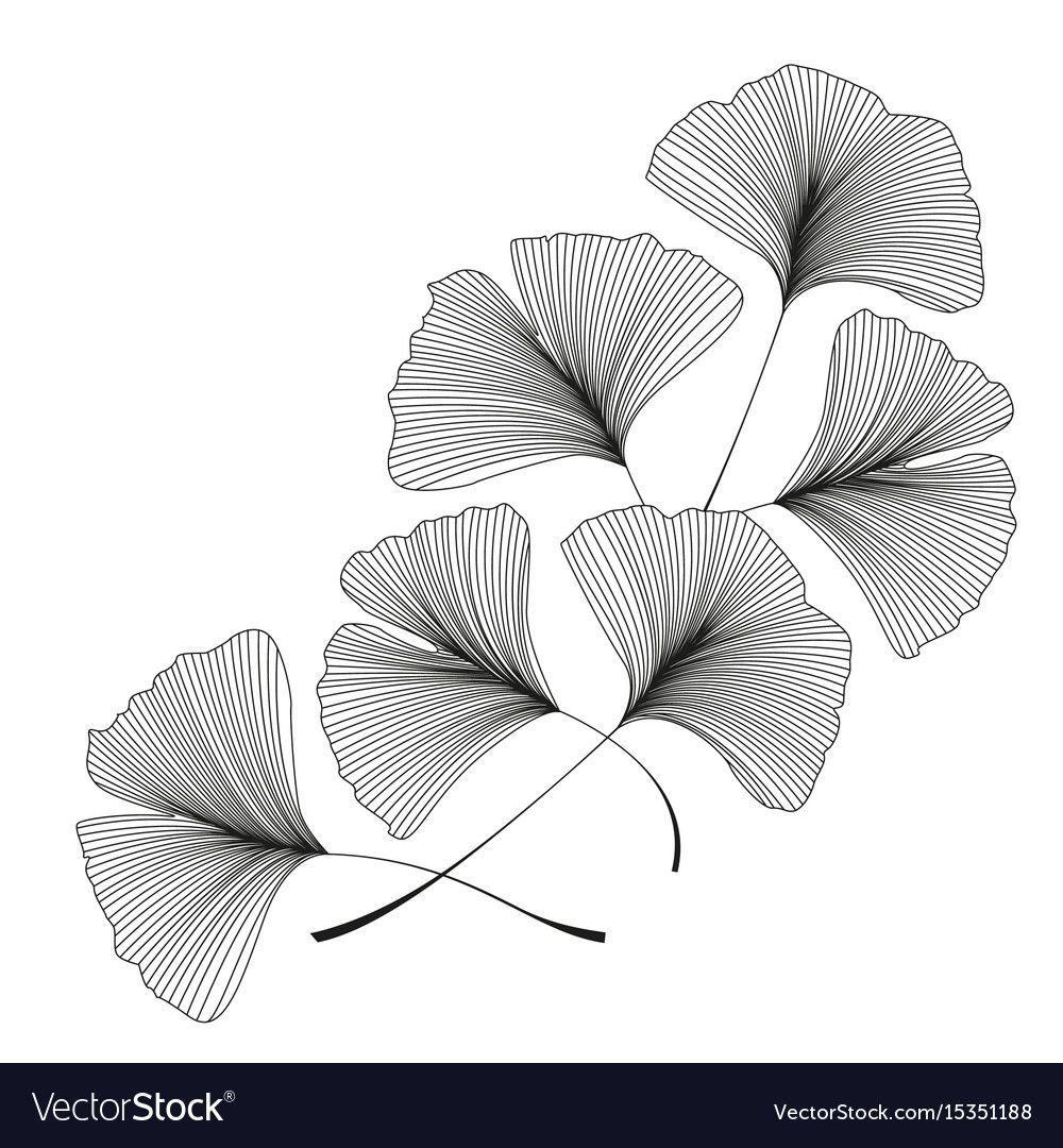 Photo of Ginkgo biloba leaves vector image on VectorStock