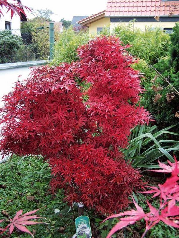 Planter Erable Du Japon : planter, erable, japon, Erable, Japonais, 'Shaina', Small, Trees, Garden,, Japanese, Planting, Flowers