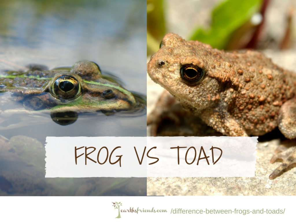 What Is The Difference Between A Frog And A Toad With