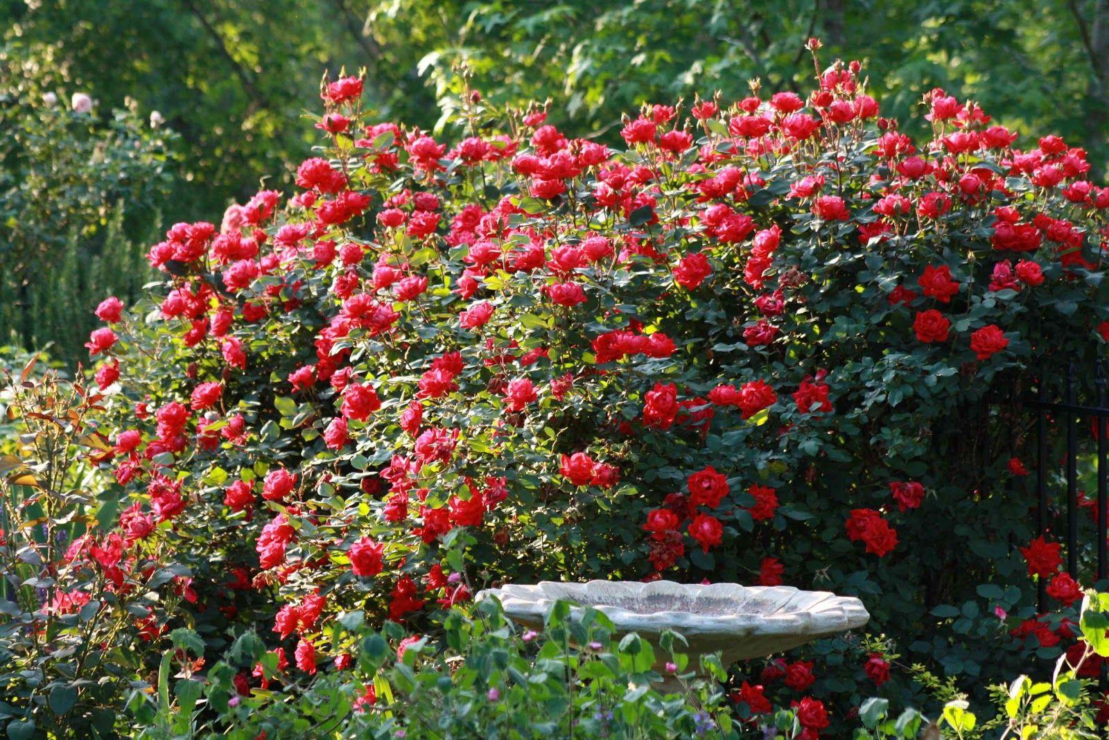 Rose flower garden pictures - Rose Garden Flowers