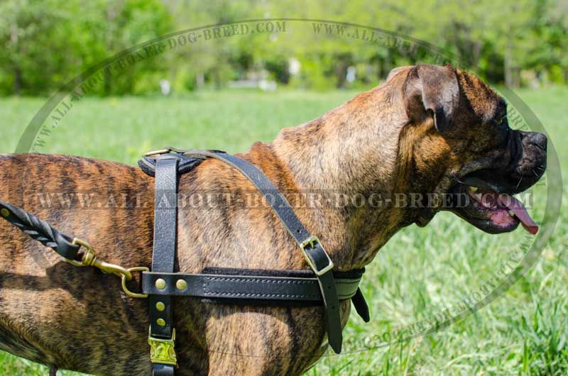Wonderful Boxer Harness For Pulling Tracking Walking And