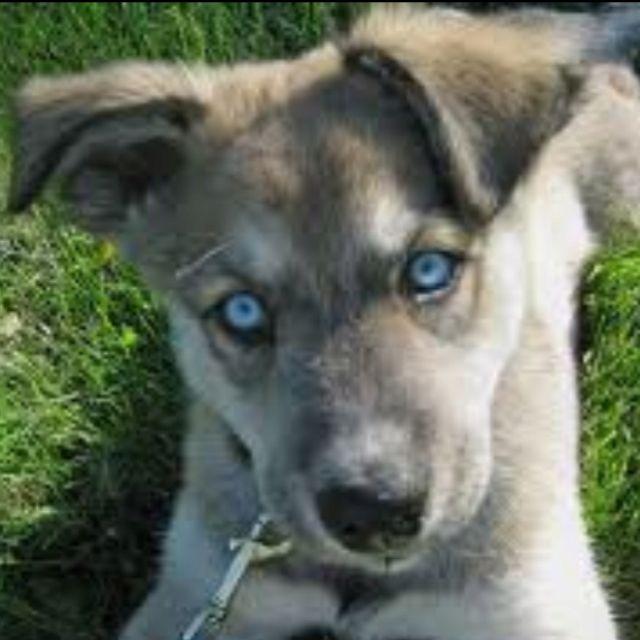 My Future Doggie German Shepherd Husky Mix My Favorite Two Dog