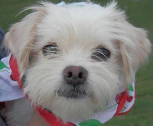 Adopt Evvie On Maltese Dogs Lake Charles Adoption
