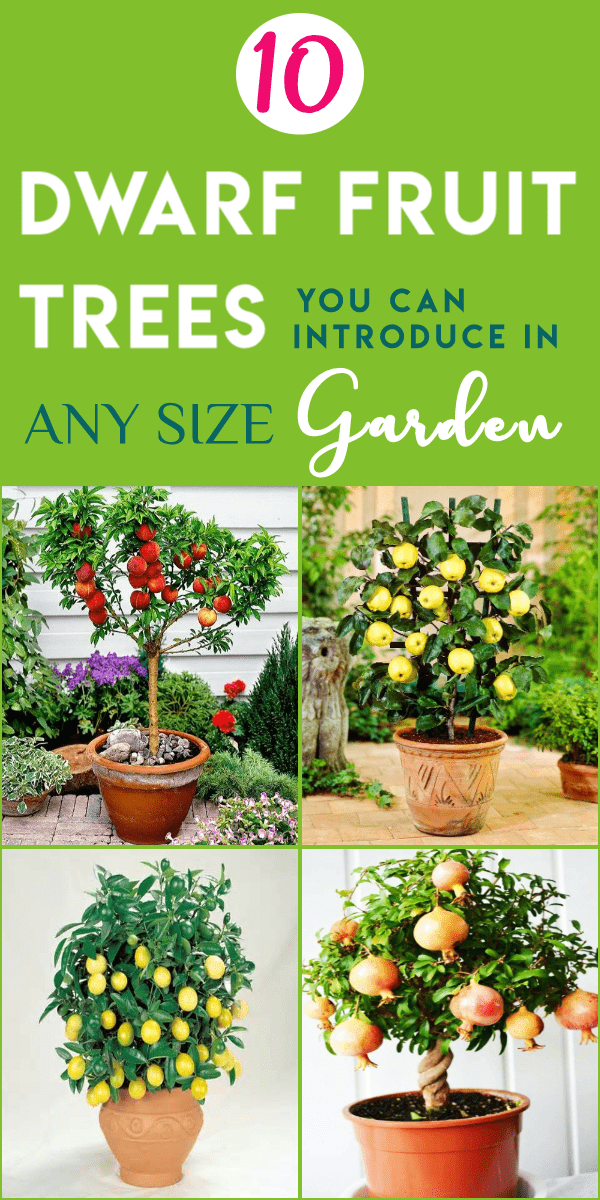 10 Dwarf Fruit Trees That You Can Grow In Pots Easily Dwarf Fruit Trees Fruit Tree Garden Fruit Garden