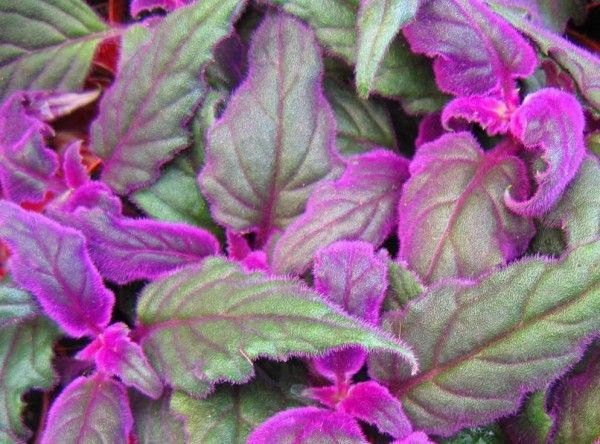 Purple passion vine gynura sarmentosa this trailing house plant is grown for its striking - House plants vines ...