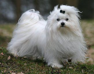 Maltese What S Good About Em What S Bad About Em Maltese Puppy Maltese Dogs Dogs