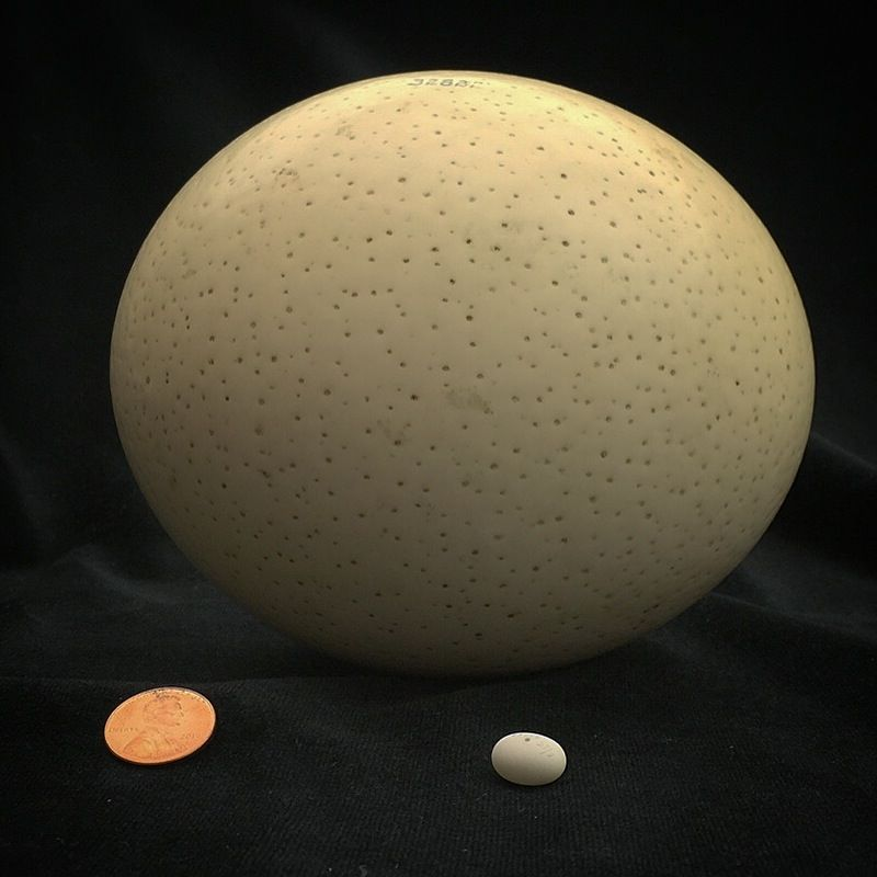 How many jelly beans could fit inside this ostrich egg