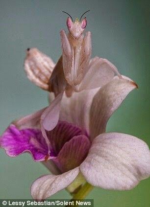 Orchid Mantis Orchid Mantis Orchids Flowers