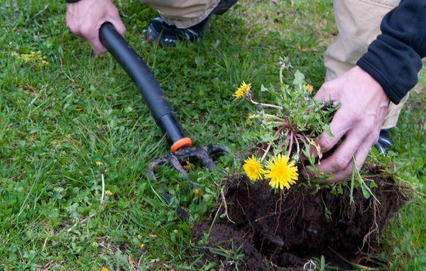 fjerne mælkebøtter i græsplæne