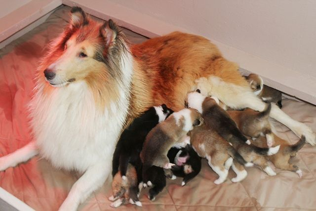 Collie Puppies By Carolyn Mahon On Things I Love
