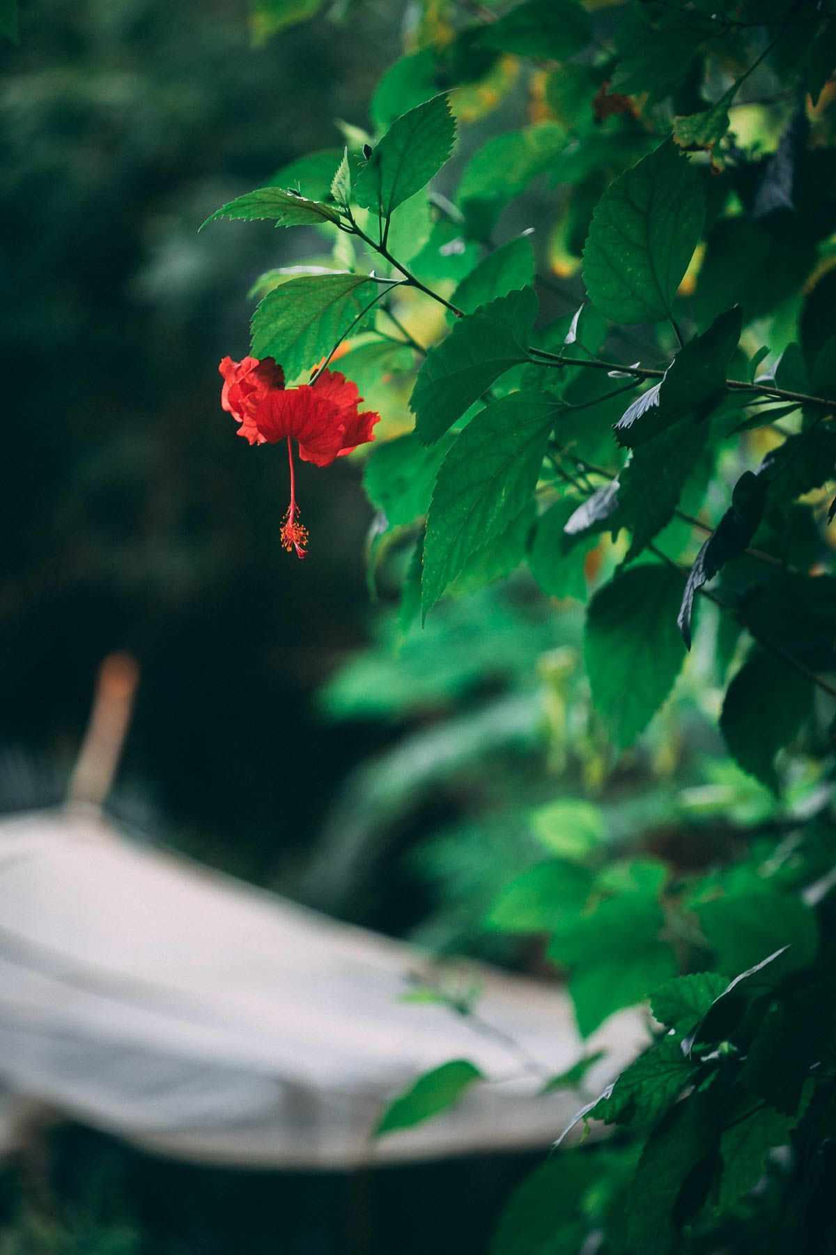 Learn How To Make Hibiscus Tea Which Has Some Amazing Benefits Make