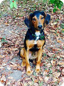 Fayetteville Ar Doberman Pinscher Beagle Mix Meet Rudy A Dog