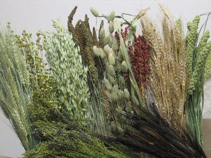 Grass Grain Collection Panicum Grass Flax Linum Phalaris Grass Gold Wheat Green Wheat Foxtail Millet Broom Corn Avena Grass Grass Type Phalaris