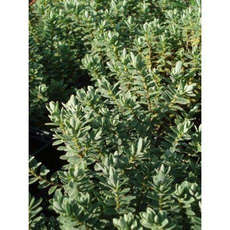 hebe topiaria petit arbuste bien vivace et rustique port rond feuillage persistant gris tre. Black Bedroom Furniture Sets. Home Design Ideas
