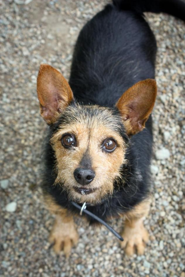 Adopt Buddy on Terrier dogs, Dogs, Anderson indiana