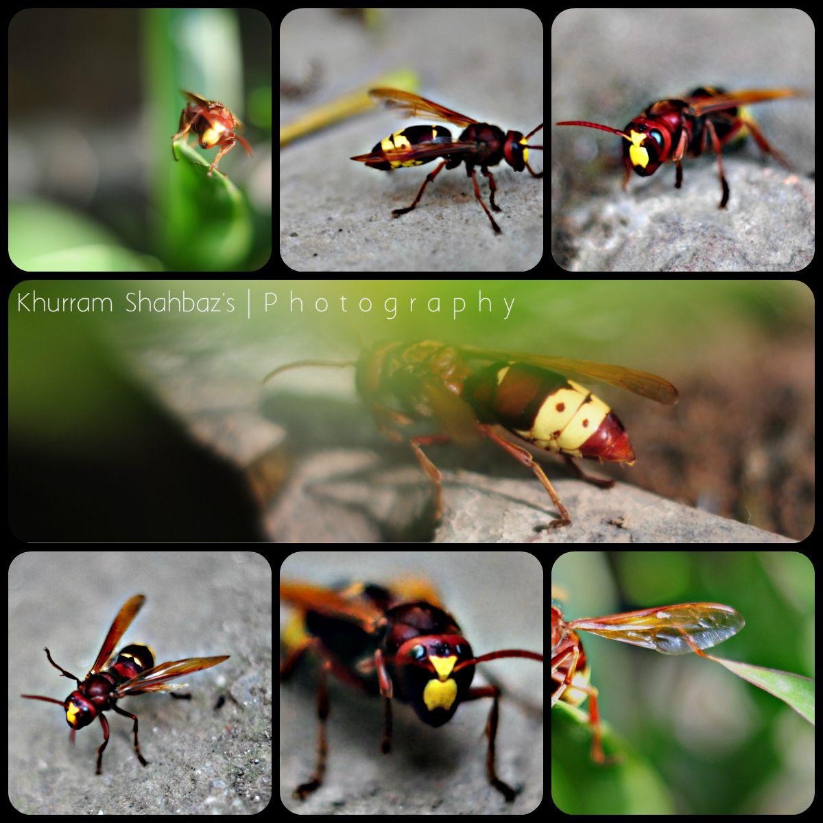Polistes - Paper Wasp.  Nikon D5000,  50mm 1.8D +2 Diopter Closeup Filter.