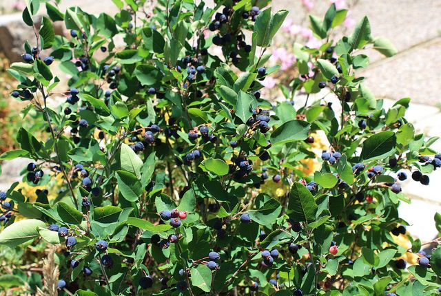 The berries are edible!  Amelanchier alnifolia - Western Serviceberry by pete@eastbaywilds.com, via Flickr