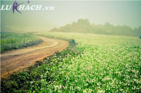 Đồng hoa cải trắng vào sớm tinh khôi