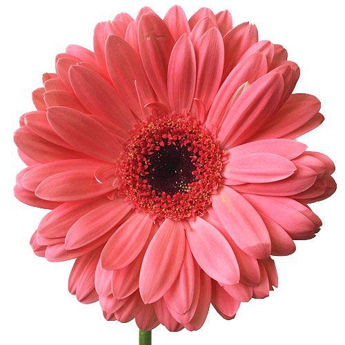 Mykukula Gerber Daisies Gerbera Daisy Flower Bouquet Wedding
