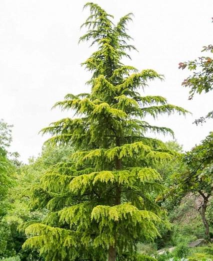 Cedrus Deodara Aurea Deodar Cedar In 2020 Cedrus Deodara Conifer Trees Trees To Plant