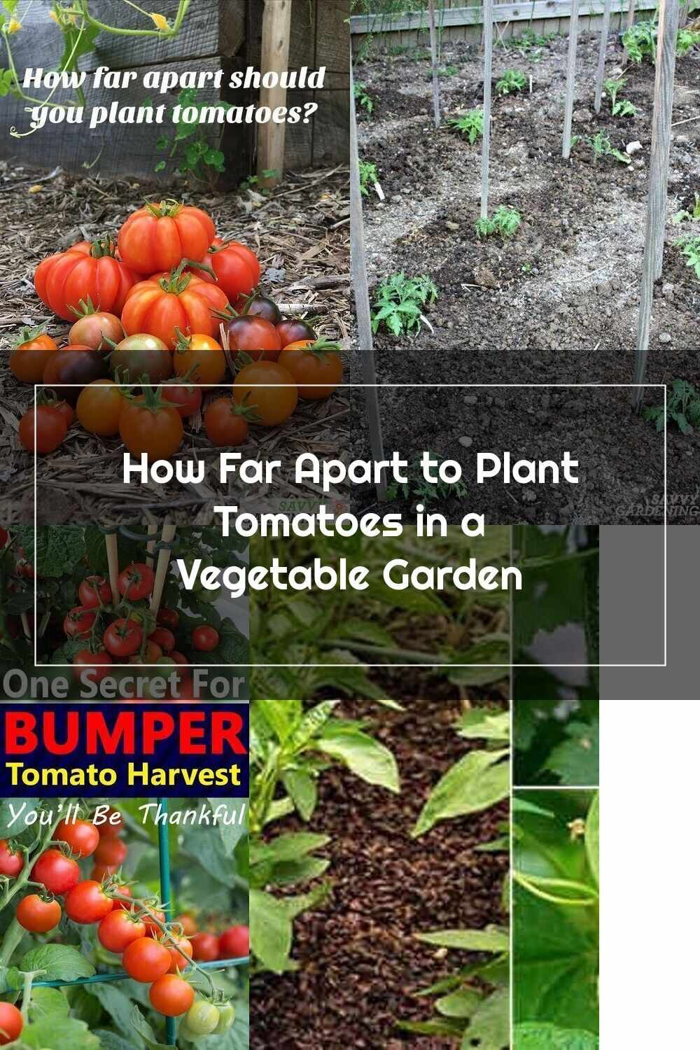 Tomato Plants How Far Apart To Plant Tomatoes In A Vegetable Garden V 2020 G