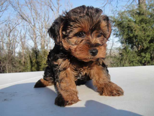 Yorkiepoo Yorkshire Terrier Poodle This Is One Of The Most Por