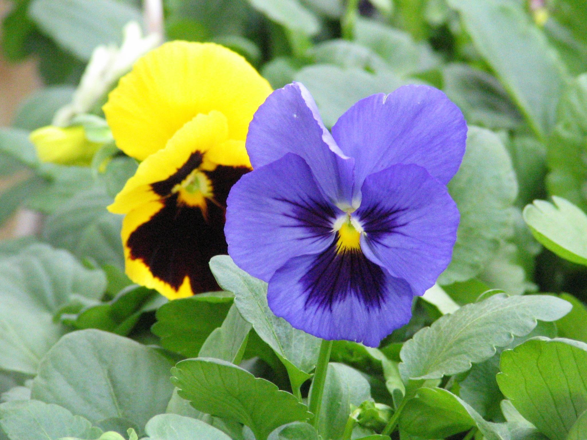 Heat And Drought Resistant Grass Viola Wittrockiana Pansies Spring Garden Garden News