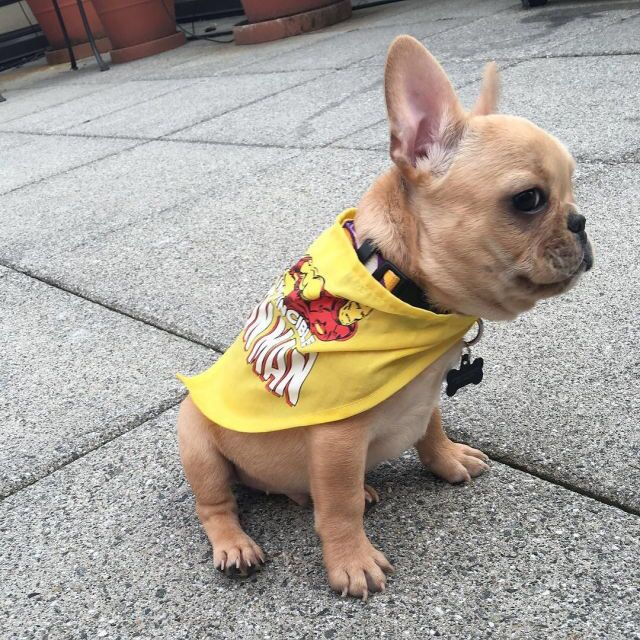 I Am The Iron Man French Bulldog Puppy In Costume